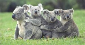 koala_family.jpg_415368877